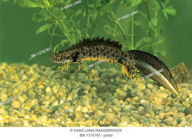Great Crested Newt, Northern Crested Newt or Warty Newt (Triturus cristatus), male