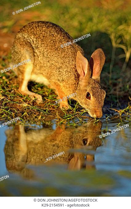 Desert, Audubon's cottontail (Sylvilagus audubonii) drinking at a pond, Rio Grande City, Texas, USA