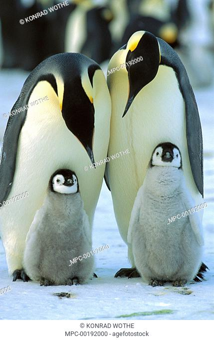 Emperor Penguin (Aptenodytes forsteri) parents with chicks, Antarctica