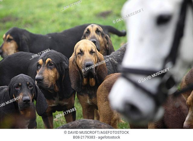 The Burne Bloodhounds following a scent trail near Wheatcroft in north Derbyshire.No artificial scent is used, the hounds follow the scent of a man