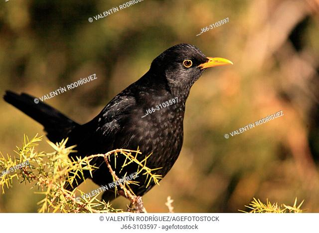 Blackbird (Turdus merula) male in the region of Los Serranos. Valencia