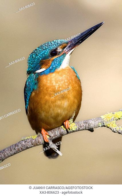 Common kingfisher (Alcedo atthis) male, looking up