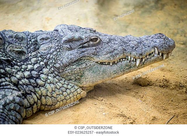 reptile, brown alligator resting on the sand beside a river