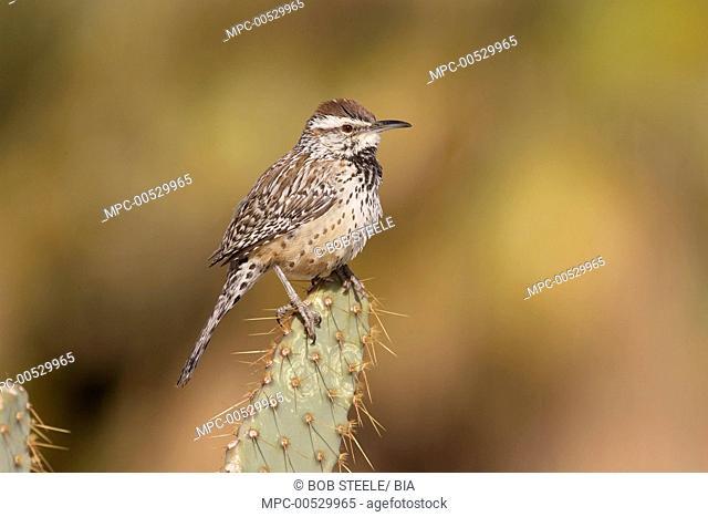Cactus Wren (Campylorhynchus brunneicapillus), Kern County, California