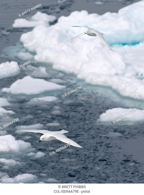 Snow petrels glide above the ice floe in the southern ocean, 180 miles north of East Antarctica, Antarctica