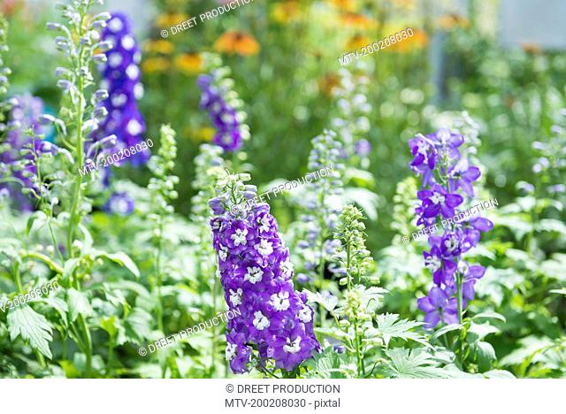 Delphinium flowers for sale in garden centre, Augsburg, Bavaria, Germany