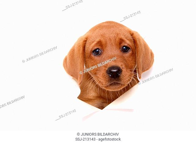 Labrador Retriever Puppy (8 weeks old) looking through a white paper wall. Studio picture against a white background. Germany