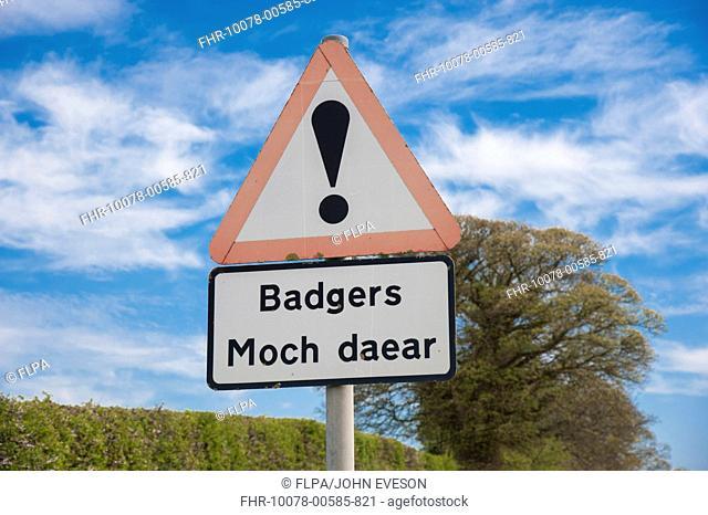 Eurasian Badger (Meles meles) crossing bilingual warning sign on roadside verge, Denbighshire, Wales, April