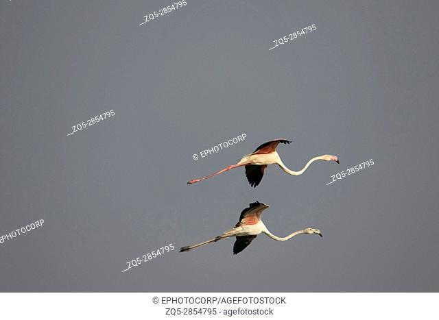 Pair of Greater Flamingo, Phoenicopterus roseus, Ujjani Dam backwaters, Bhigwan, Maharashtra, India