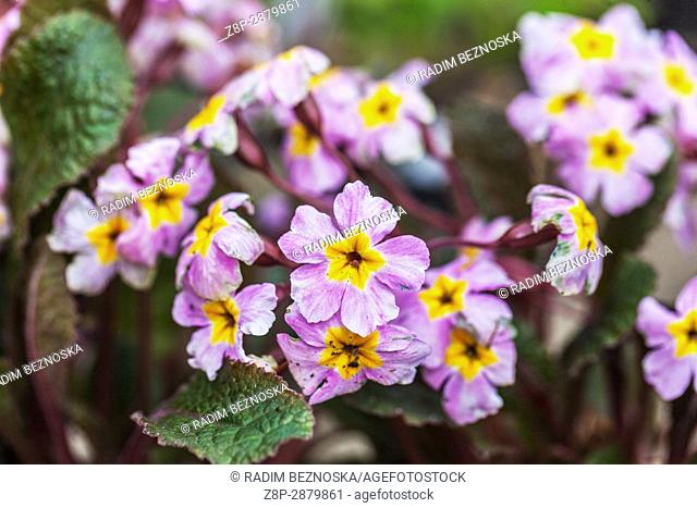 Primula margotae 'Garryarde Guinevere'