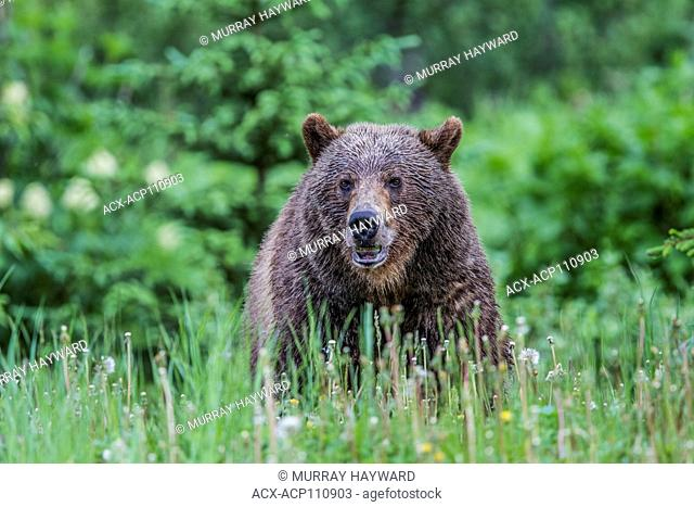 Grizzly Bear Male (Ursus arctos horribilis) Male grizzly bear, feeding in a moutain meadow, on dandelions. Kananaskis, Alberta, Canada
