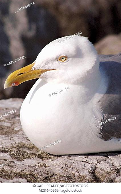 A closeup of a glaucous gull (Larus hyperboreus)