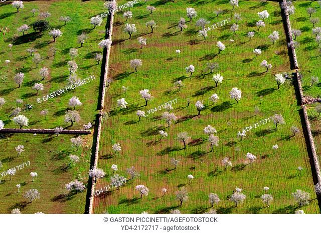 Aerial view of almond trees in flowers, Mallorca lands, Balearic Island, Spain