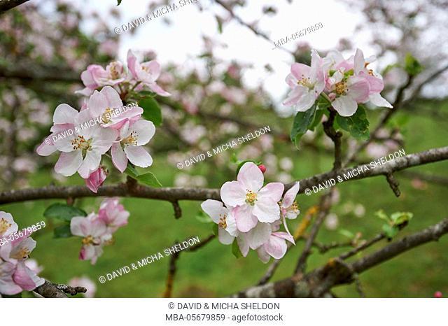 Apple, Malus domestica, blossoms, close up
