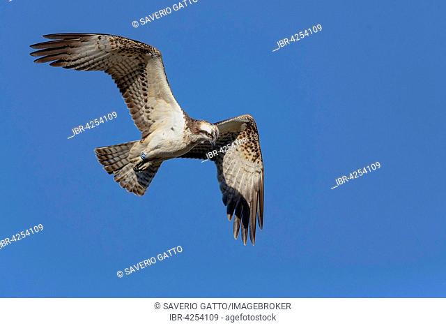 Osprey (Pandion haliaetus), juvenile in flight, Campania, Italy