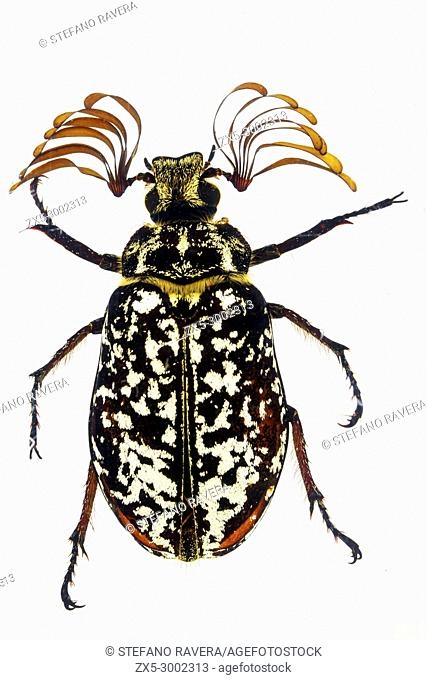 Garden Chaffer Beetle (Polyphylla laticollis) - Japan
