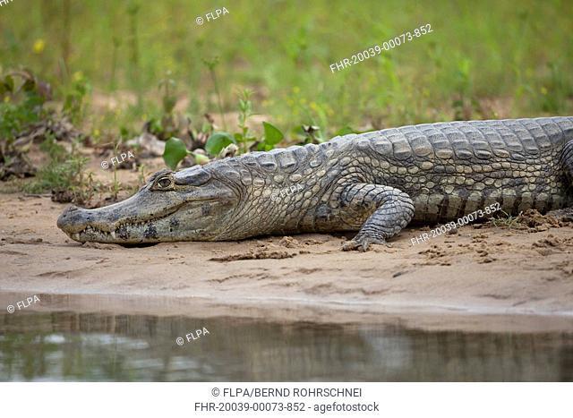 Paraguayan Caiman Caiman yacare adult, resting on riverbank, Pantanal, Mato Grosso, Brazil