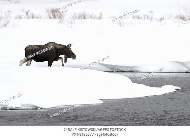 Moose / Elch (Alces alces) bull in winter, crossing a river, walking through a creek, surrounded by a lot of snow, Yellowstone NP, Wyoming, USA.