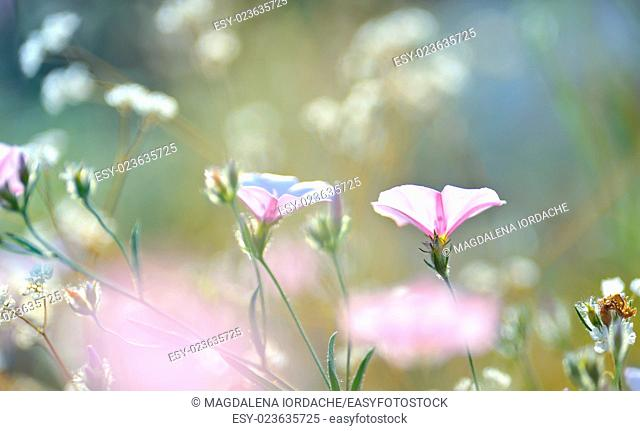 tobacco pink flowers lighted by rays of sun on field