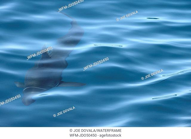 Salmon Shark, Lamna ditropis, California, USA