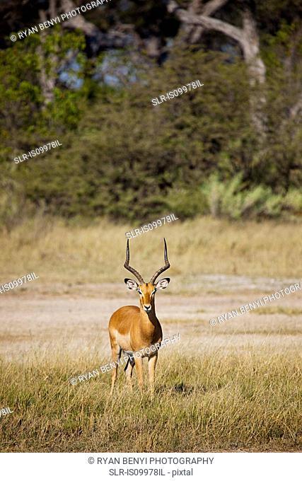 Male Impala, Botswana, Africa
