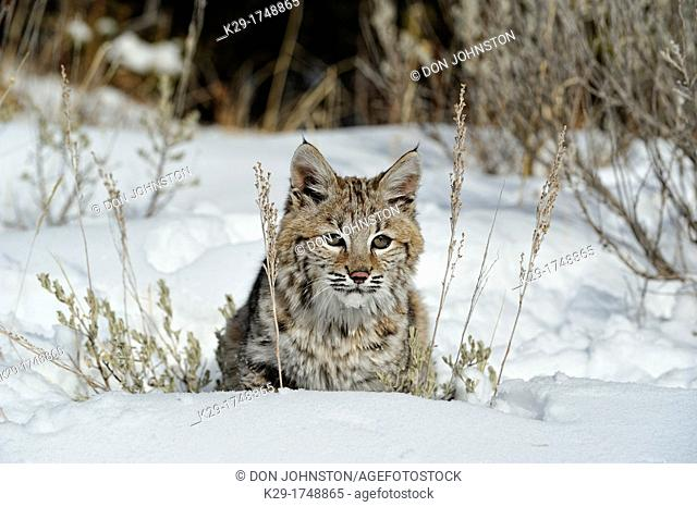 Bobcat Lynx rufus Kitten, first winter, Bozeman, Montana, USA