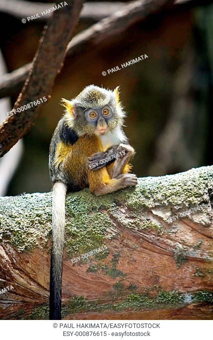 A baby Wolf's Monkey Cercopithecus wolfisitting all alone with an expression of loneliness, in the Bronx Zoo, New York