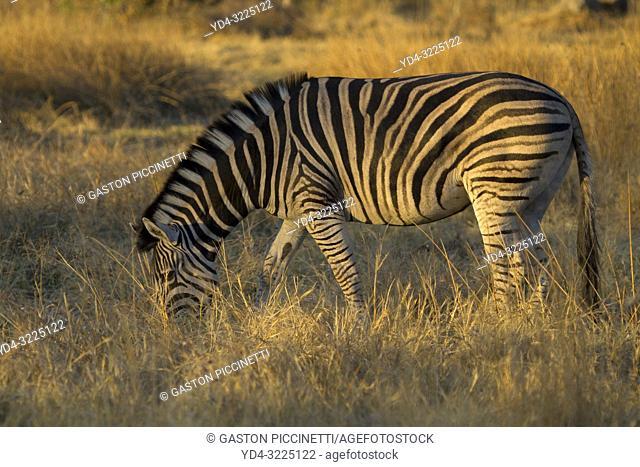Burchell's Zebra (Equus quagga burchelli), Okavango Delta, Moremi Game Reserve, Botswana
