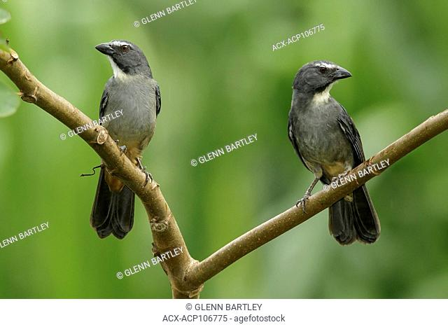 Graysh Saltator (Saltator coerulescens) perched on a branch in Manu National Park, Peru
