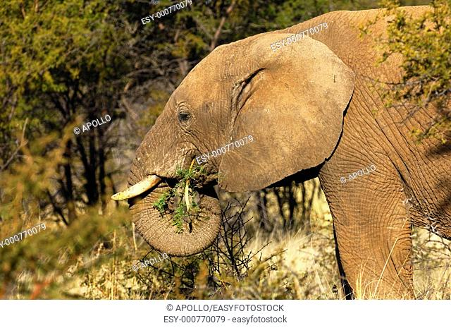 African Elephant foraging on thorn bush branches, Madikwe Game Reserve, South Africa