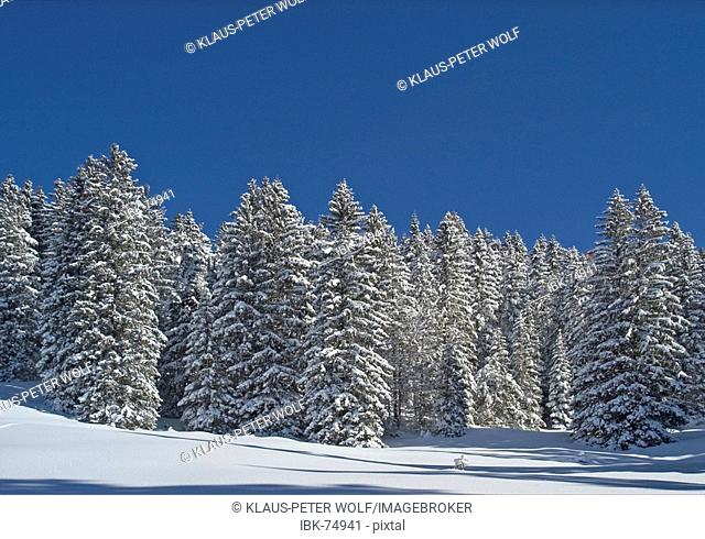 Snow covered spruce trees Valepp valley near Spitzingess lake Spitzing Upper Bavaria Germany