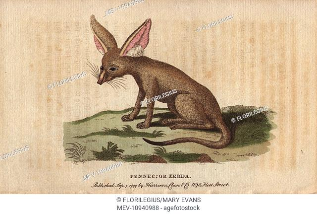 Fennec fox or zerda, Vulpes zerda. Handcolored copperplate engraving from The Naturalist's Pocket Magazine; or, Complete Cabinet of the Curiosities and Beauties...