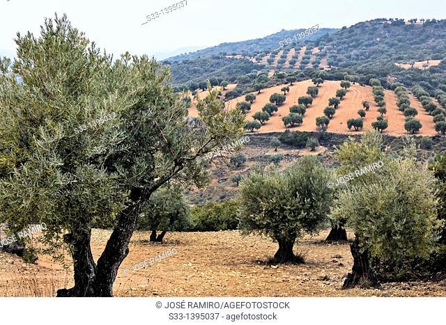 Olive trees in Tielmes  Madrid Spain