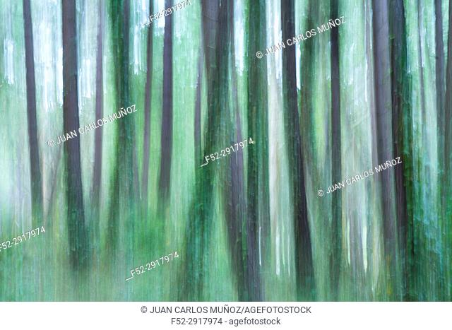 Pine forest, Maritime Pine (Pinus pinaster), Dunas de Liencres Natural Park, Cantabrian Sea, Pielagos Municipality, Cantabria, Spain, Europe