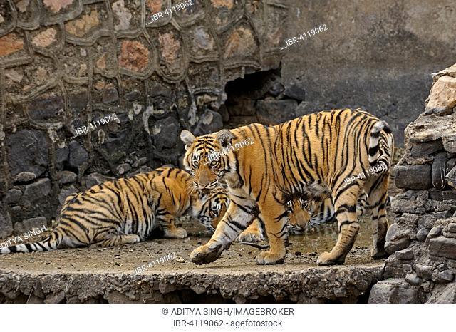 Bengal or Indian tiger (Panthera tigris tigris) tigress with cubs, next to a dam, Ranthambhore National Park, Rajasthan, India