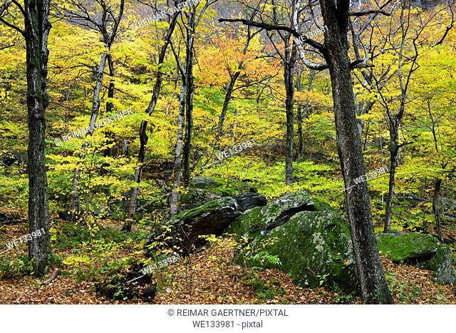 Colorful Fall forest at Smugglers Notch State Park with moss covered boulders