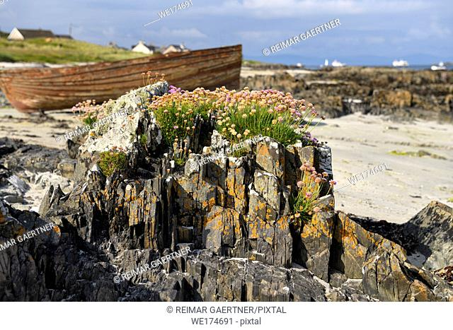 Sea Thrift and lichen growing on rock outcrops on beach of Isle of Iona with beached boat at Baile Mor Scotland UK