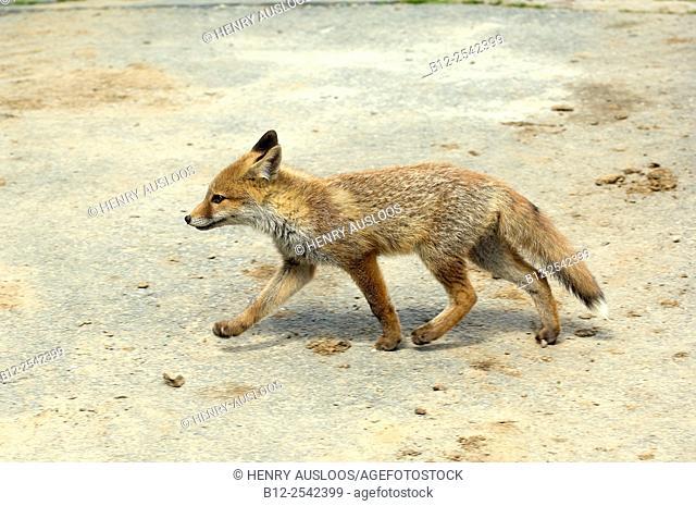 Red Fox - cub Vulpes vulpes, France