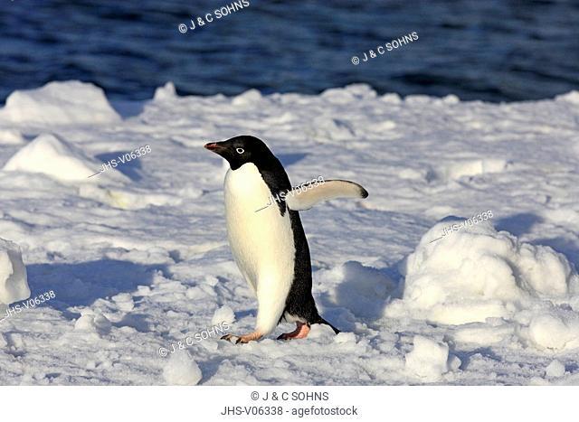 Adelie Penguin, (Pygoscelis adeliae), Antarctica, Brown Bluff, adult walking in snow