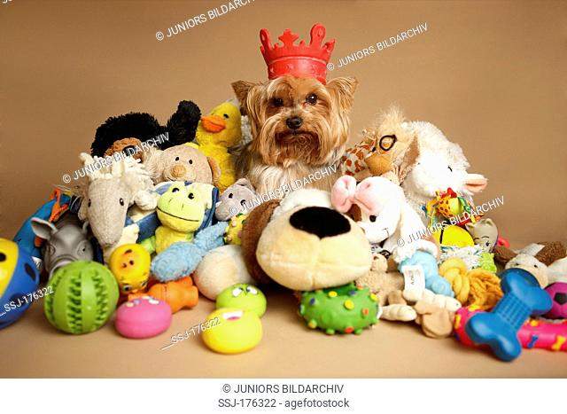 Yorkshire Terrier sitting among a lot of toys