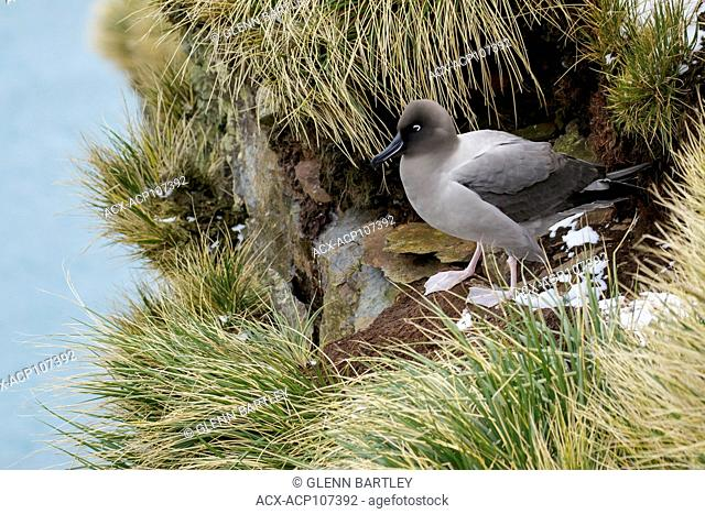 Light-mantled Sooty Albatross (Phoebetria palpebrata) perched on tussock grass on South Georgia Island
