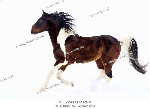 Paint Horse. Skewbald gelding galloping in snow. Germany