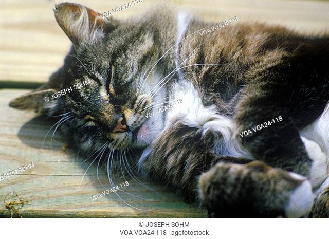 Sleeping gray cat on wooden porch