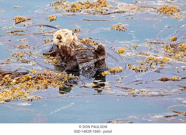 Sea otter Enhydra lutris floating in water, Marble Island, Glacier Bay National Park, Alaska, USA