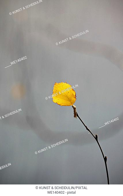 A single golden birch leaf is clinging to its twig on a sunny day in fall