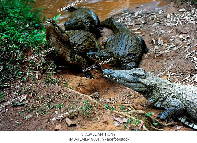Madagascar, Andasibe Mantadia National Park, Vakona Forest Lodge, Crocodile Farm, crocodile looking for food