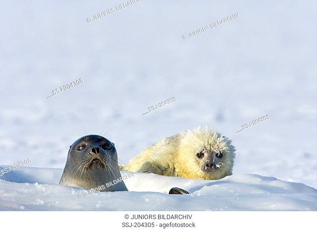 Ringed Seal (Pusa hispida, Phoca hispida). Mother looking out from breathing hole, baby lying next to it. Svalbard