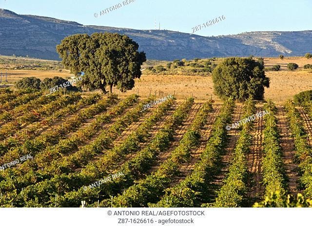 Bodegas Ampelos vineyards, Almansa, Albacete province, Castilla-La Mancha, Spain