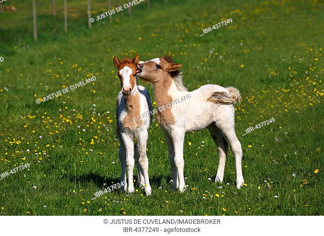 Two foals playing, Icelandic Horses (Equus przewalskii f. caballus) in the meadow, young animals, Lower Saxony, Germany