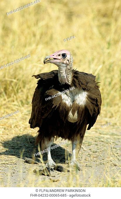 Hooded Vulture Necrosyrtes monachus adult, foraging, Moremi Game Reserve, Botswana